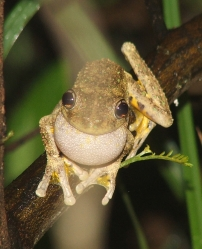 enerald spotted                           tree frog