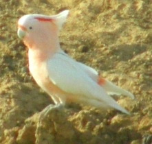 majpr                     mitchell cockatoo