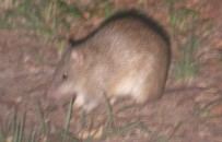 northern brown bandicoot                   on Russell Island