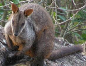 brushtailed                                                           rockwallaby