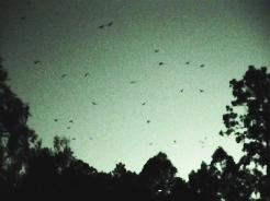 fruitbats in flight
