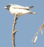 woodswallow
