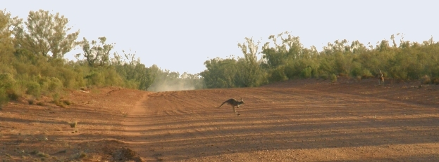 red kangaroo crosses outback road